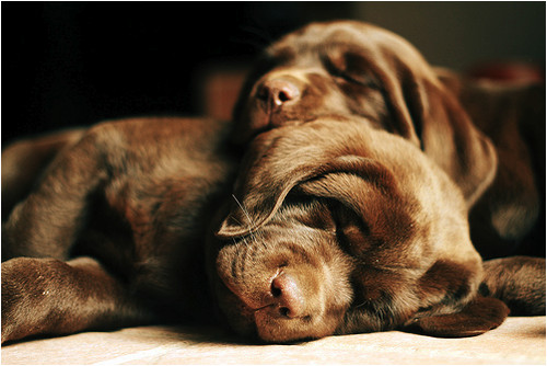 happy,dogs,labrador,puppies,pups-bb9f33ee6129e6af34ef594dc93b9147_h
