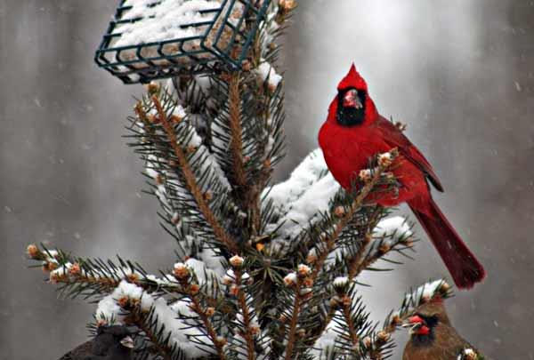 cardinal_iW_Anna_Brumar_Kittle