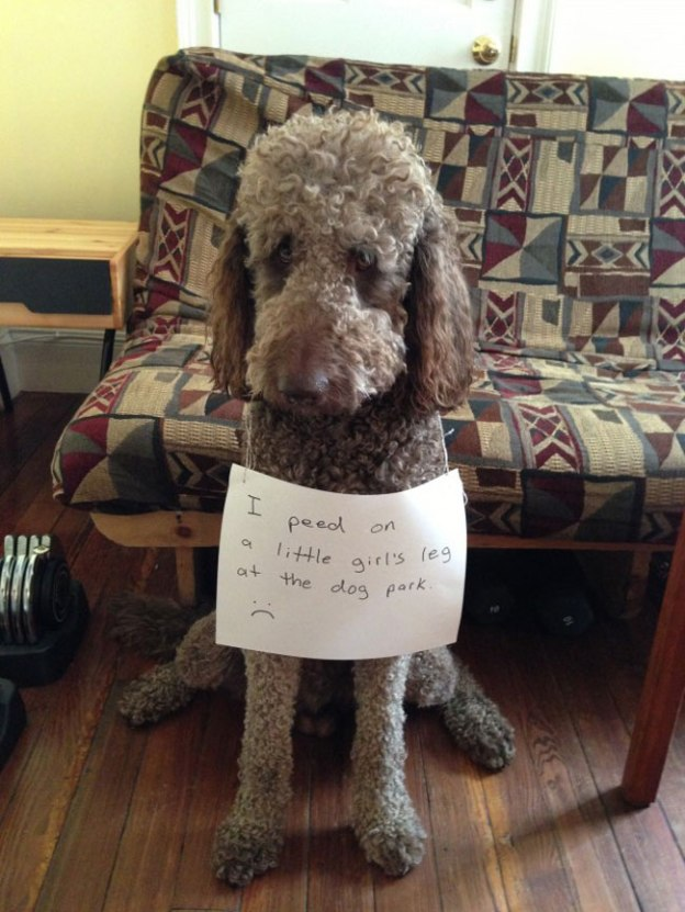 dogs-who-are-shamelessly-proud-of-what-they-just-did-15