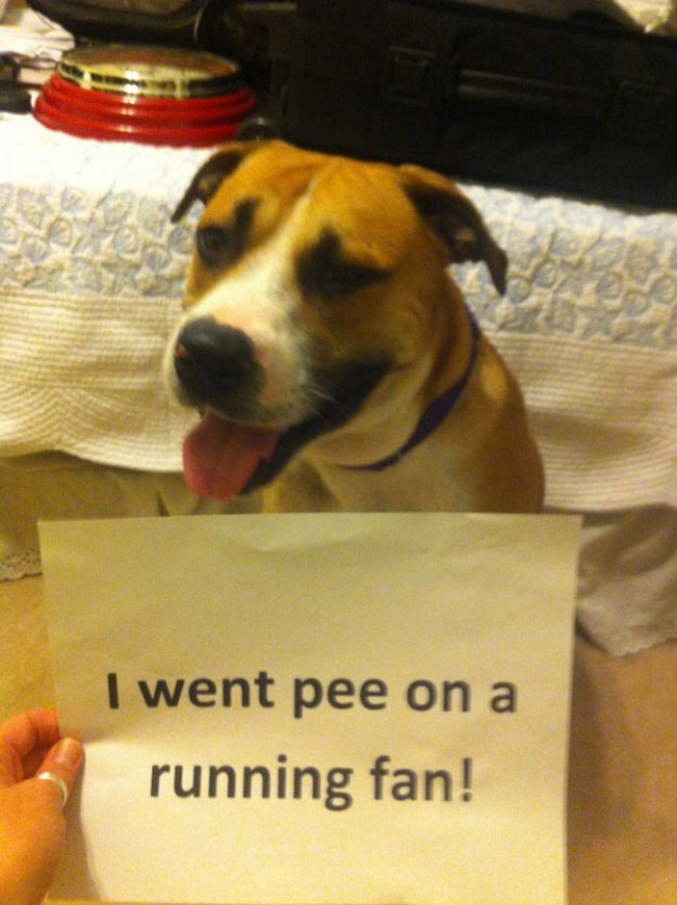 dogs-who-are-shamelessly-proud-of-what-they-just-did-24