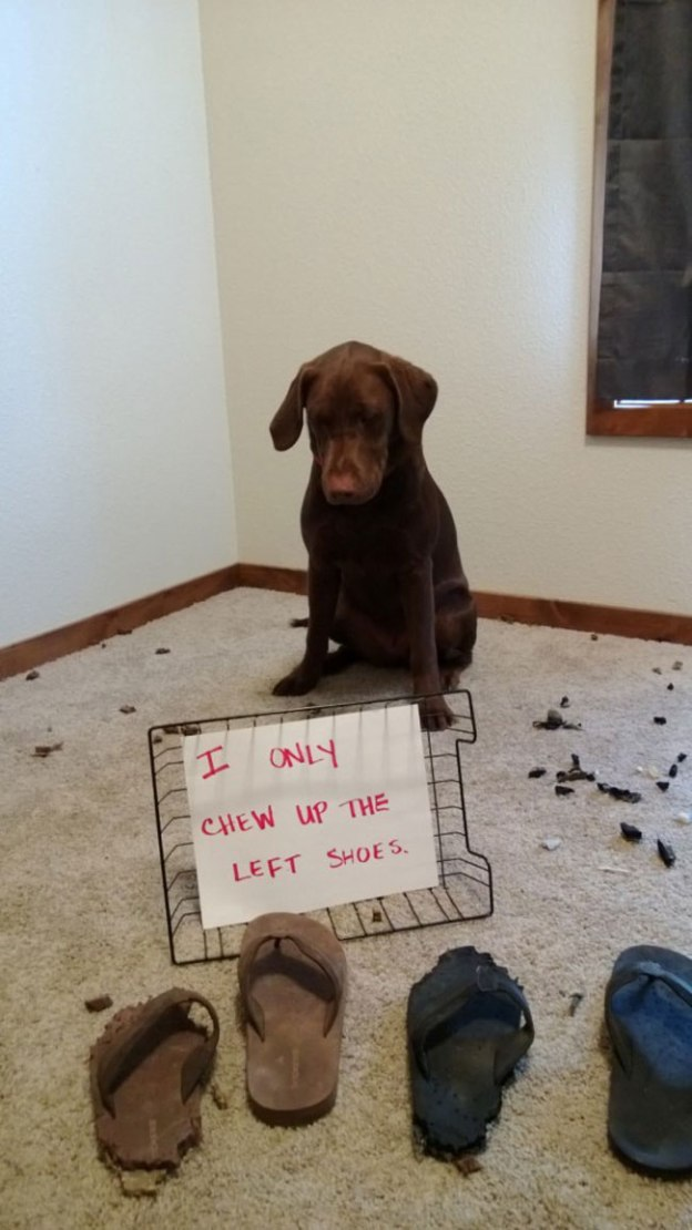 dogs-who-are-shamelessly-proud-of-what-they-just-did-32