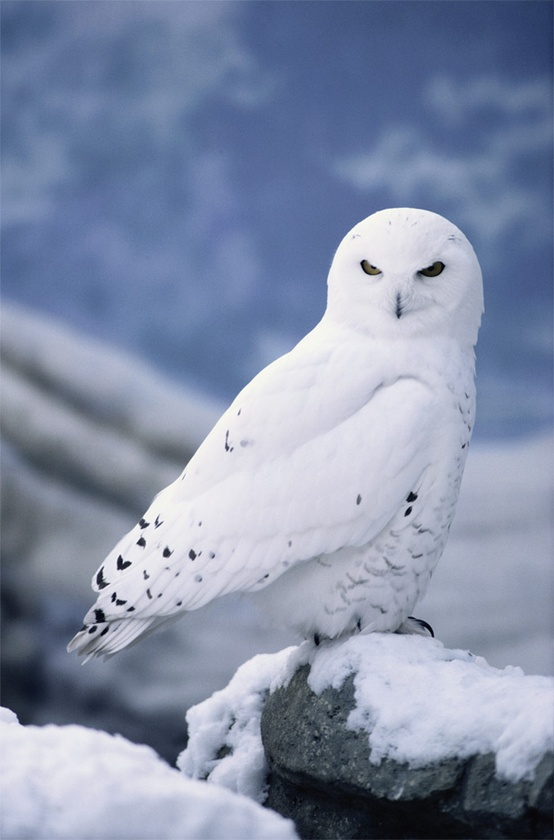 white-animals-snow-211
